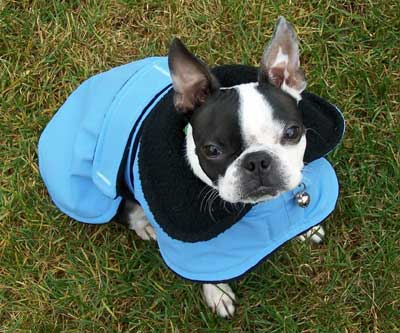 boston terrier gracie in her new Rain Chaser raincoat