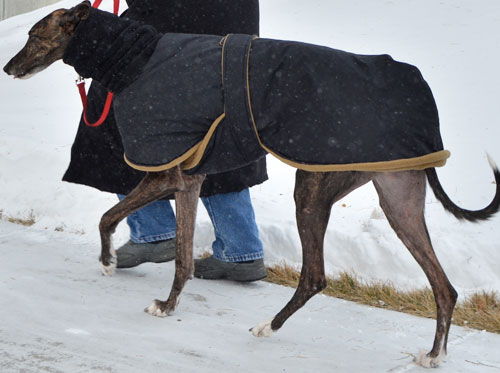 greyhound winter coat - mickey