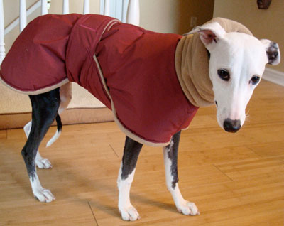italian greyhound puppy coat