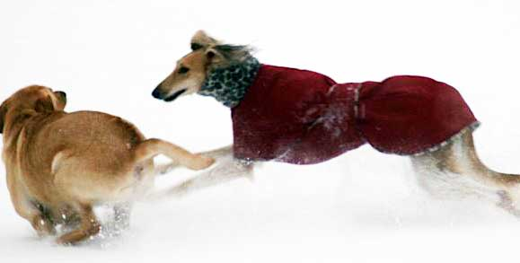 saluki dog coat