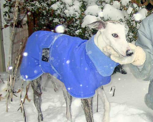 Whippet - blue winter coat